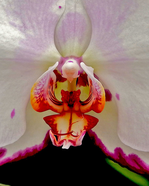 The inner workings of a Phaleanopsis Orchid.