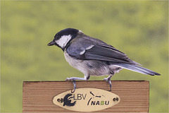 Continental coal tit