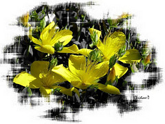 Fleurs de millepertuis ***  St. John's wort flowers