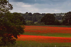 the fence of poppy land