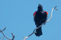 Pictures for Pam, Day 175: Red-Winged Blackbird on Upper Klamath Lake Canoe Trail