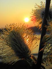 Willow  Sun