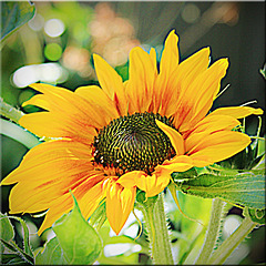 Surprise Sunflower