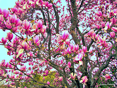 Magnolia in Bloom.