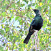 Tui Perched In A Tree.