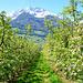 Apfelblüten im Vintschgau. ©UdoSm