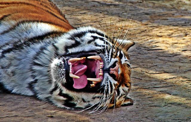 ...wenn Tiger müde sind...