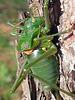 """Gafanhoto verde (portugués). Nombre científico:Decticus verruciverus """"El mordedor de verrugas"""""""