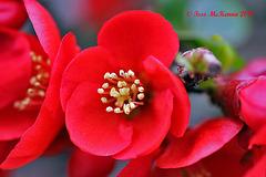 Camellia Japonica  014