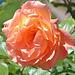 Une jolie rose...pour vous !