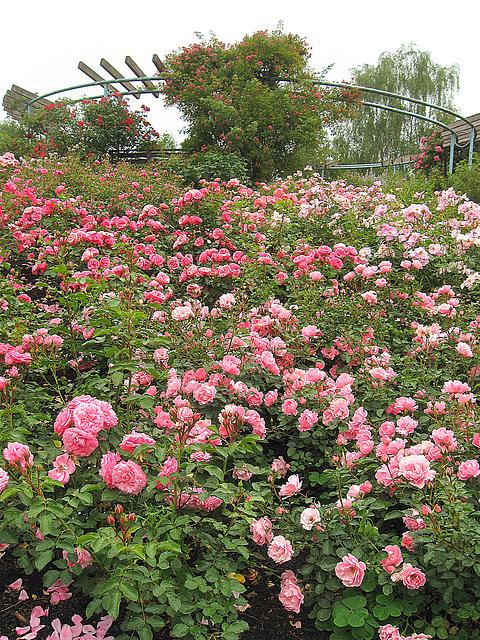 Tage der Rosen