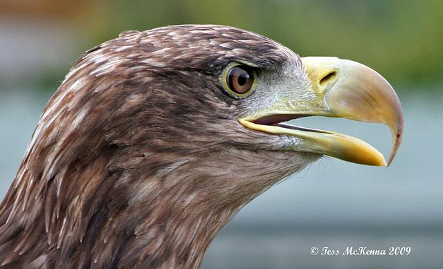 White Tailed Sea Eagle   3 018  copy