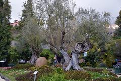 Dieser Olivenbaum ist älter, als die Entdeckung Madeiras durch Zargo