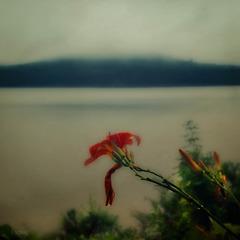 wild mountain lily