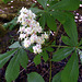 Aesculus hippocastanum (Horse Chestnut) flowers.