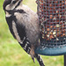 Young woodpecker attacking the birdfeeders...