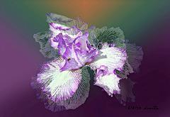 Iris dreams