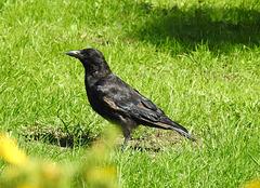 Carrion Crow, Varteg Road, Blaenavon, Pontypool 28 August 2017