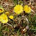 Goldene Frühlingssonnen - Golden spring suns