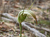 Pterostylis sp aff revoluta (Large Autumn Greenhood)