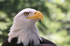 Portrait of a bald eagle (Explored)