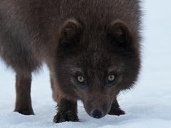 Dans les yeux du renard bleu