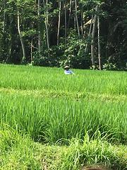Vue sur la rizière