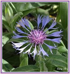 Bleuet de mon jardin, Cornflower of my garden