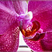 Center of an orchid. ©UdoSm