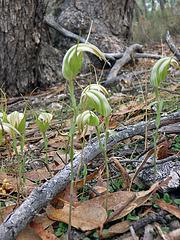 Pterostylis sp aff revoluta (Large Autumn Greenhood)