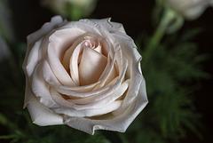 Rose à cœur