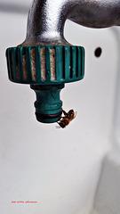 ... auch die Bienen haben Durst ...