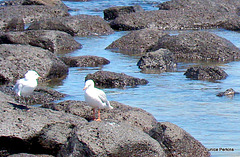 Gulls Resting.
