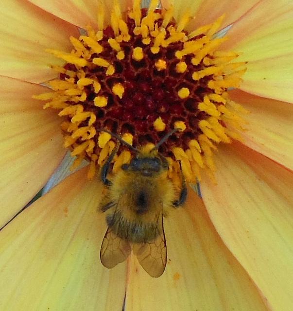 D wie DAHLIE mit Biene