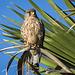 Cernicalo vulgar (Falco tinnunculus canariensis)♂