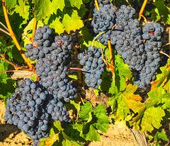 La vendimia. Laguardia. Rioja alavesa.