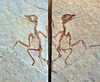 Dancing fossil Liaoxiornis delicatus 2