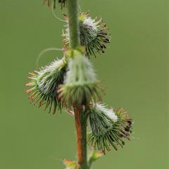 Aigremoine - Agrimonia eupatorium