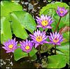 LA DIGUE, SEYCHELLES - i fiori all'equatore