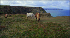 Shetland ponies above Ralph's Cupboard. Keeping the Southwest Peninsula Coastpath in pristine condition!