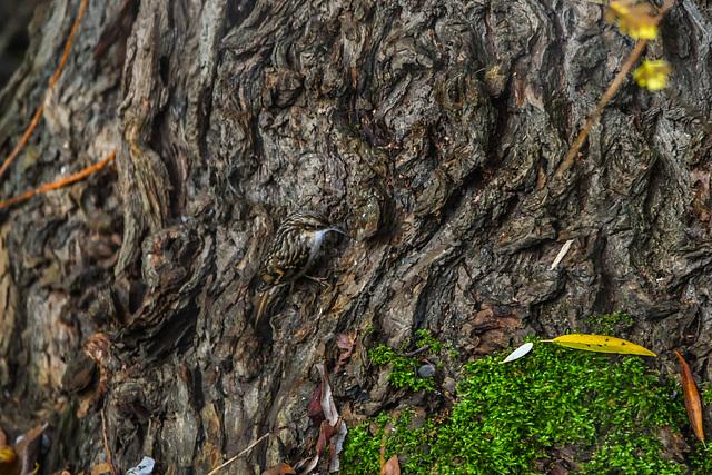 Baumläufer (Certhiidae)