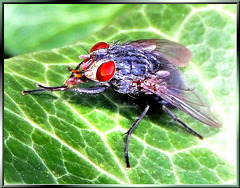 Just a fly, but... ©UdoSm