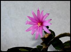 Hatiora rosea