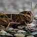 Yellow-winged Locust