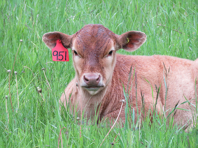 Very young calf