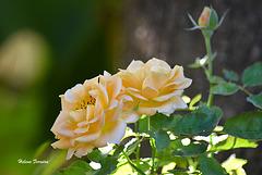 Mini roses.