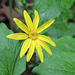 Heart-leaved Arnica / Arnica cordifolia