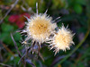 Verblühte Golddistel / Faded carline thistle