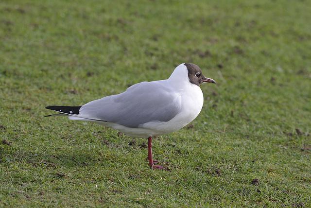 Blackheaded seagull EF7A9778