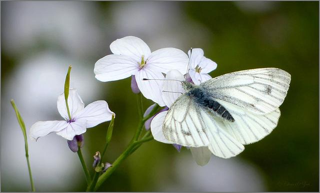 Green-veined White  ~ Klein geaderd witje (Pieris napi)...